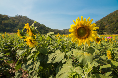 Sunflowers in the agriculture field  Stock Photo