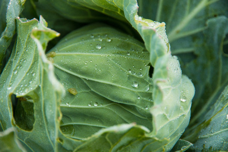 The fresh green cabbage close up in an organic agricultural farm Stock Photo