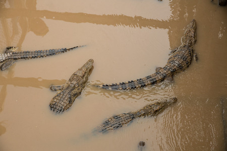 Crocodiles in the farm, Tonle Sap lake, Cambodia Stock Photo