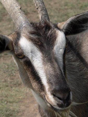 Goat on meadow photo