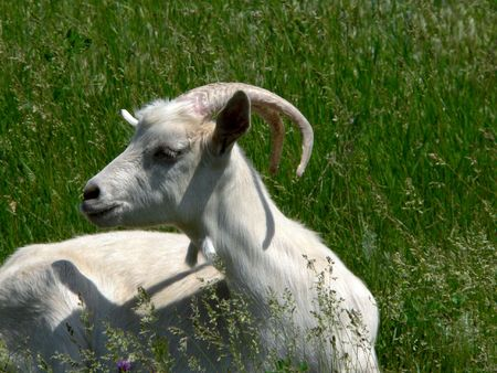 She-goat on meadow photo