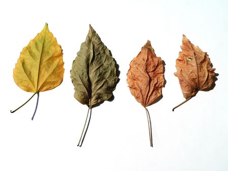 Four dry leaves on white background Stock Photo