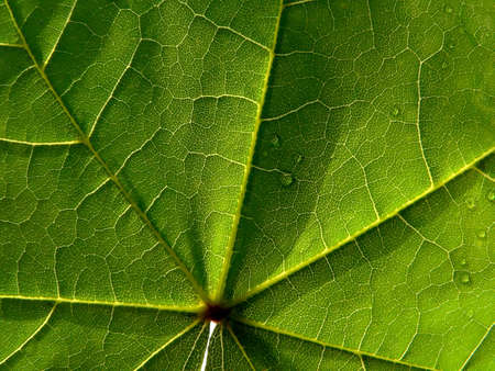 Series of the textures (leaf of maple)