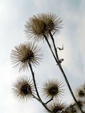 Thistle on sky background photo