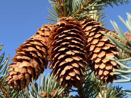 pine three: Three pine cone on blue sky background.