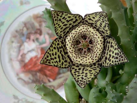 five petals: Flower of cactus with five petals. Macro.