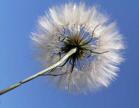 Fluffy dandelion on blue sky background Stock Photo - 687912