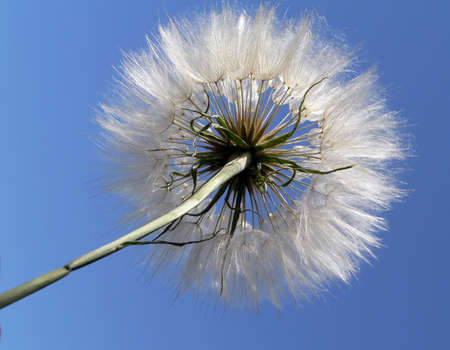 Fluffy dandelion on blue sky background Stock Photo