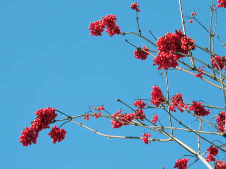 bunchy: Winters rowanberry on the blue sky background 2 Stock Photo