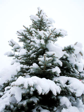 Fir-tree covered by the snow Stock Photo