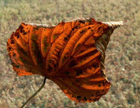 An autumn leaf in the rays of an evening sun. Stock Photo - 874023
