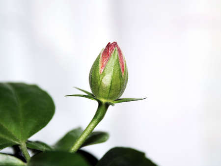 roseleaf: Flower of hibiscus isolated on the gray background