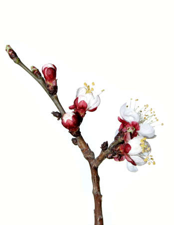 Flowering branch of the cherry-tree isolated on white background photo
