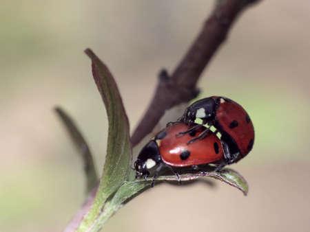 Couple of the ladybugs. Macro view. photo