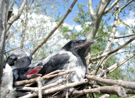 Nestling of the crow in the nest 2 photo