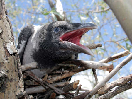 Portrait of the young crow in the nest. 2 photo