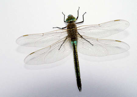 Dragonfly on the gray background Stock Photo