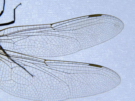 Wings of the dragonfly. Extreme close-ups. Stock Photo