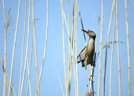 night heron (nycticorax nycticorax) sitting on the reed Stock Photo - 1017534