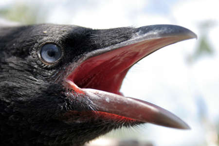 crow: Portrait of the young crow in the nest 2.