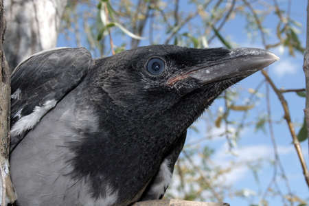 head of the crow in the nest 2. Stock Photo - 1106847