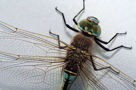 zygoptera: Green dragonfly on gray background 3. Close-up view.