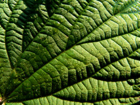 Series of texture (Leaf of the nettle 2) photo