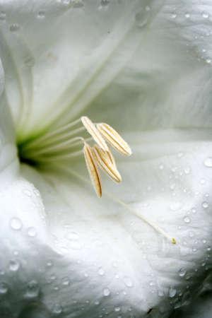 White madonna lily 2. Macro view. photo