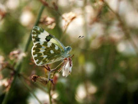 anthocharis: Butterfly on flowerbed (Anthocharis cardamines)