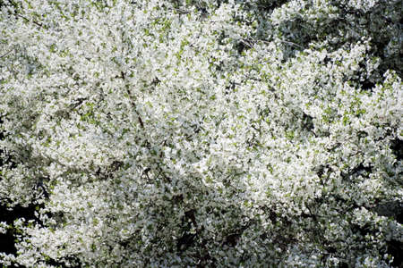 cherrytree: Collection of the textures (flowering  cherry-tree) Stock Photo
