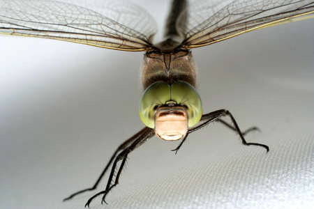 zygoptera: Green dragonfly on gray background. Close-up view.