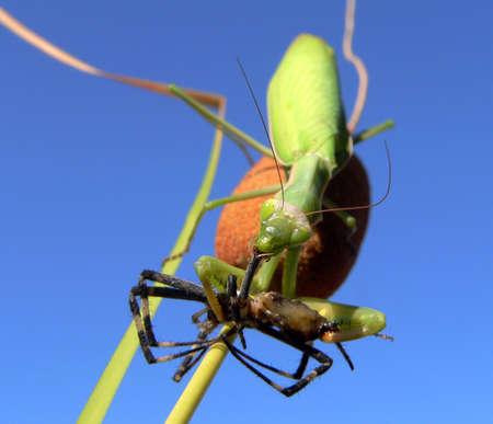 arachnophobia animal bite: the predators prey. Mantis (Mantis religiosa) devours a  black and yellow argiope Stock Photo