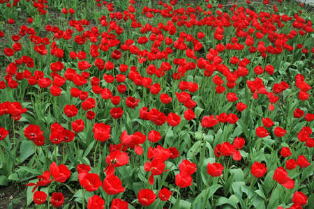 Series of the natural textures (Red tulips)