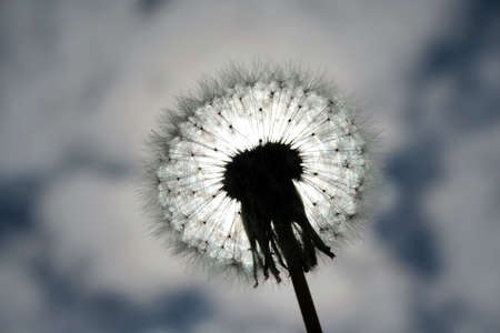 Dandelion and sun on cloudy sky background photo