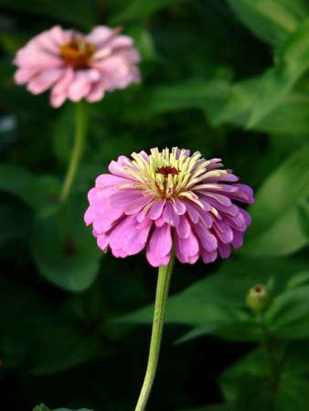 roseleaf: Pink flower of gerber on the flowerbed
