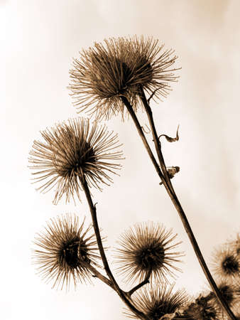 Thistle on sky background in sepia photo