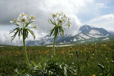 Wild flowers on mountain background. Russia, Caucasus.  photo