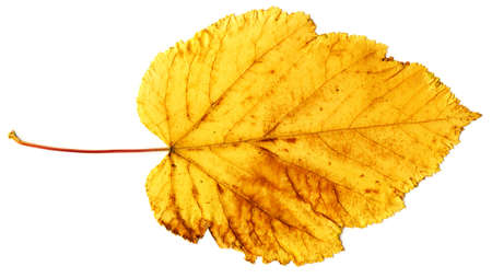 Texture of yellow autumn leaf isolated on a white background