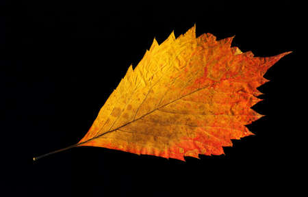 nervation: Yellow-golden autumn leaf isolated on a black background