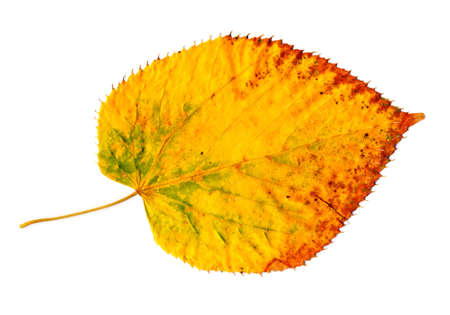 nervation: Yellow-golden autumn leaf isolated on a white background