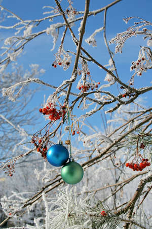 rowanberry: Two balls on a snow-covered rowanberry with berries (vertical orientation)