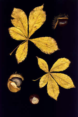 veining: Leaves and chestnuts isolated on a black background