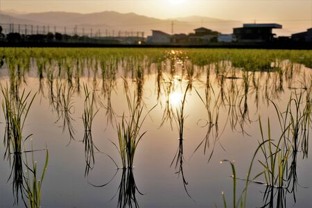 Paddy field of immediately after the rice planting dawn