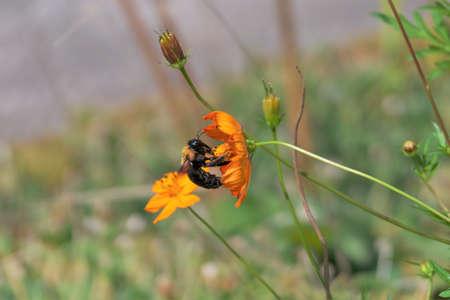 bee in the orange cosmos
