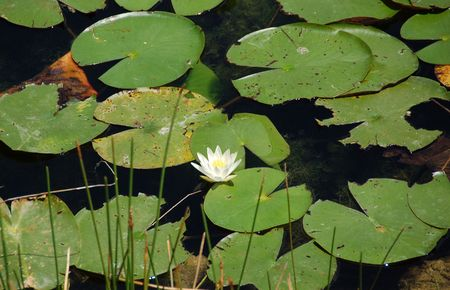 wetland: Everglades wetland lillies