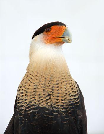 falconidae: Crested caracara portrait