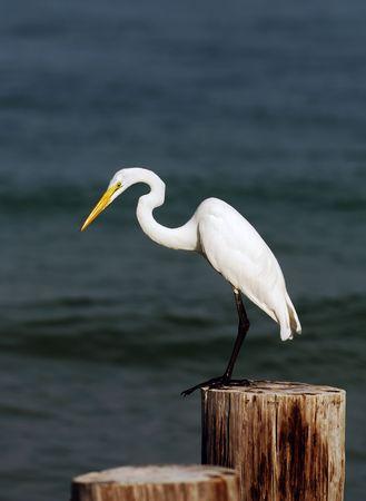 egret: Great egret