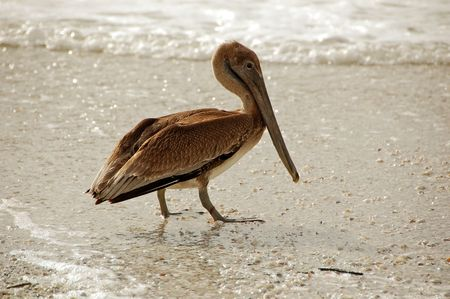 wading: Wading sea bird