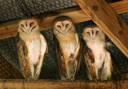 hideout: Three wise owls hiding under barn roof                 Stock Photo