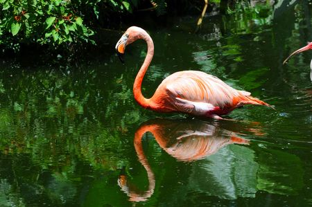 wade: Exotic flamingo in natural environment - South Florida Stock Photo